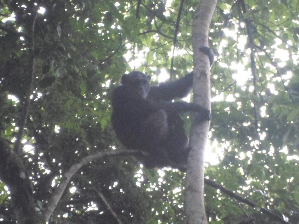 Nigeria-Cameroon chimpanzee