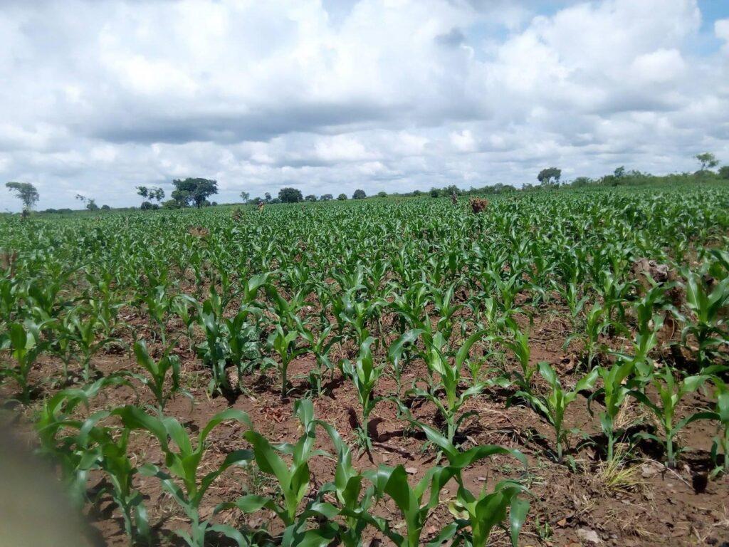 A maize field near Zambia's capital, Lusaka