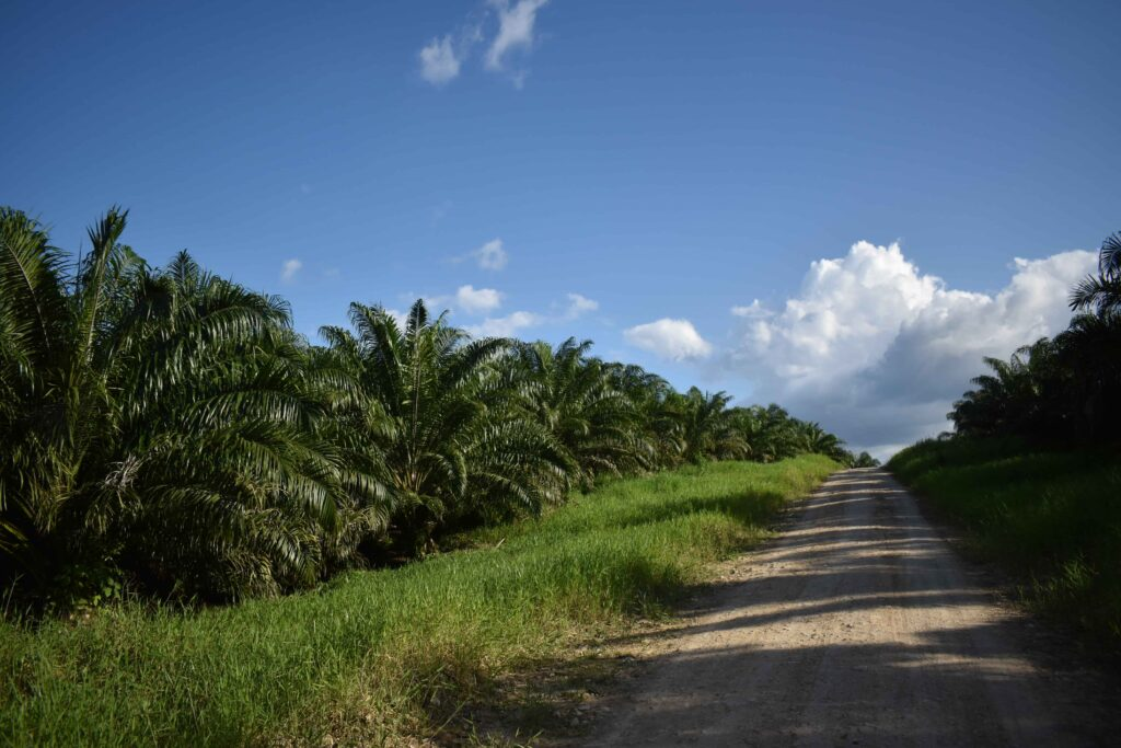 Palm oil plantation in Guatemala