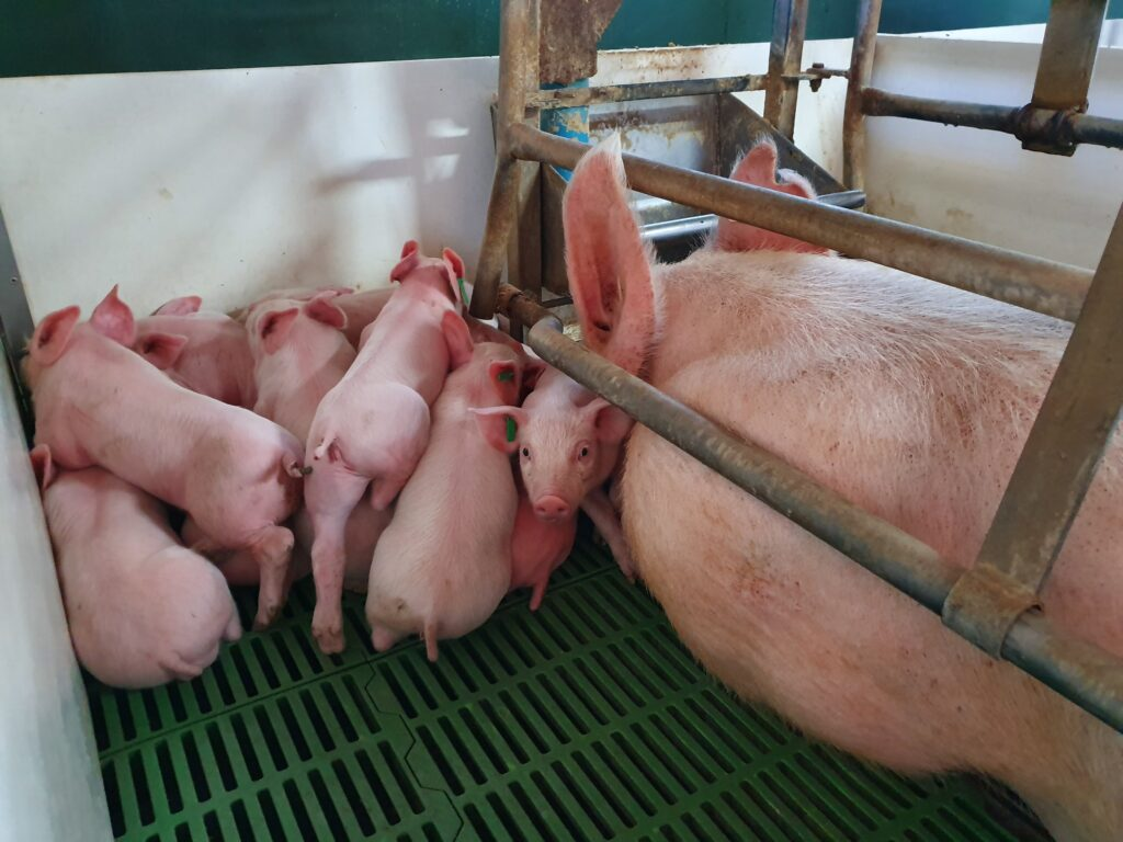 Argentina pig farms