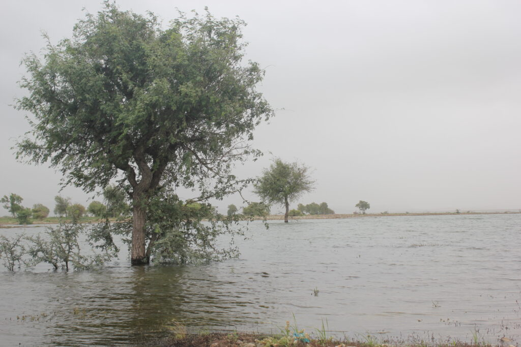 Keekar trees stand in excessive water spilled over the afforestation site from Hub Dam