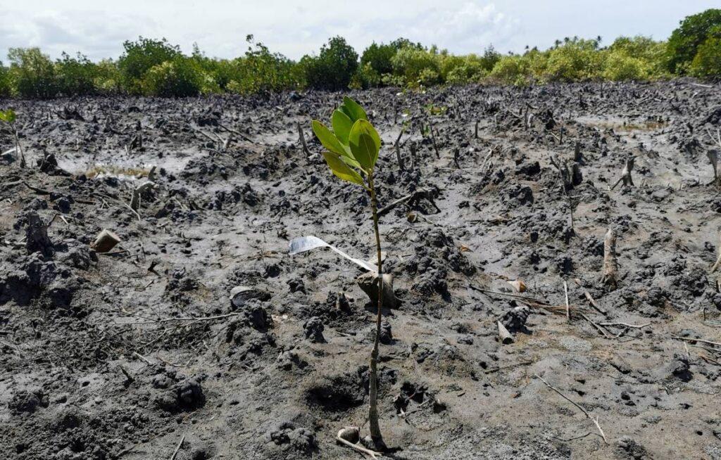Mangrove papua new guinea