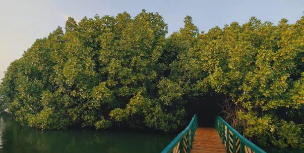 Mangrove India