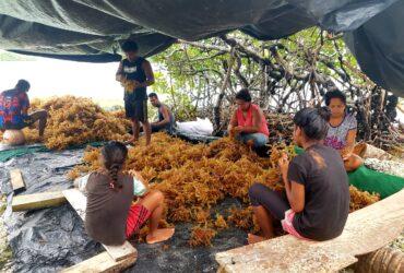 seaweed farming solomon islands