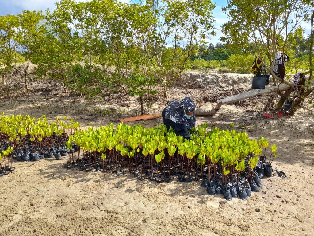 mangrove seedlings kenya